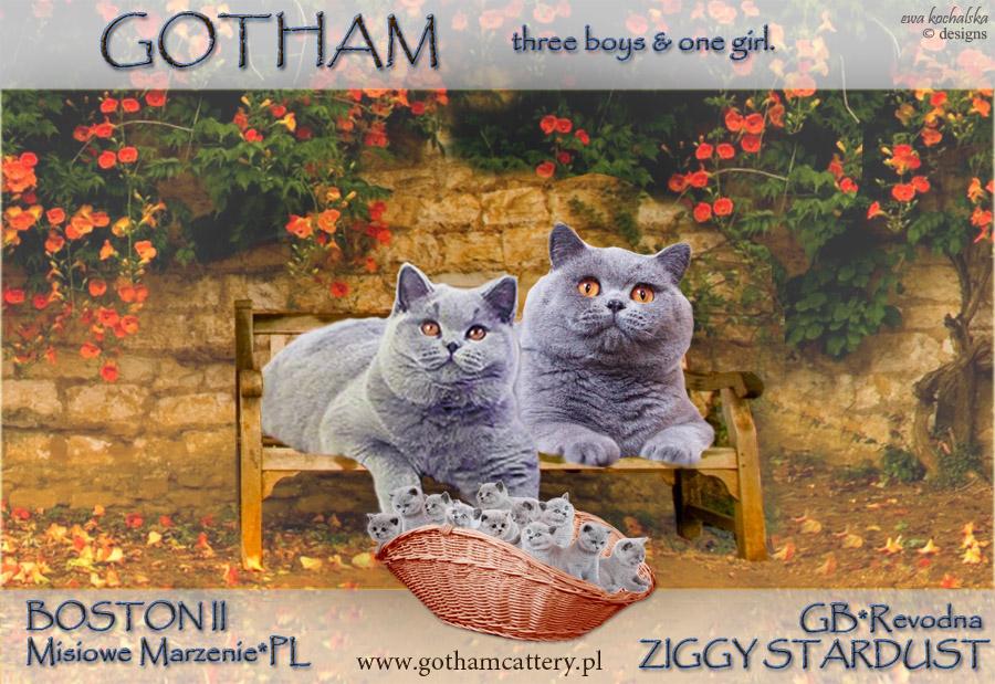 kot brytyjski - kocięta